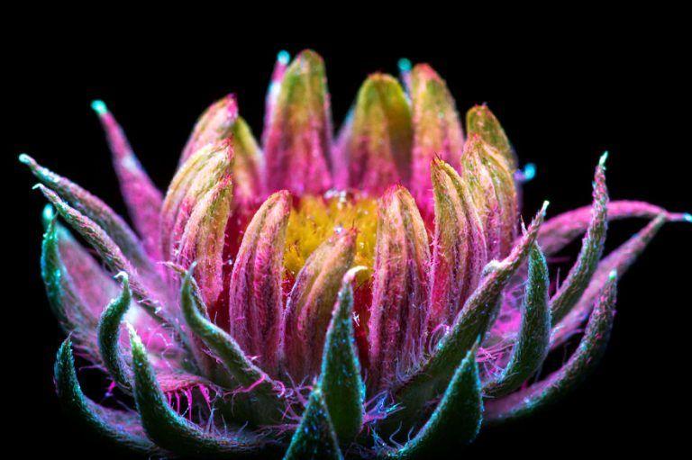 ¿Sabías por ejemplo que las flores pueden emitir colores fluorescentes cuando reflejan la luzultravioleta?