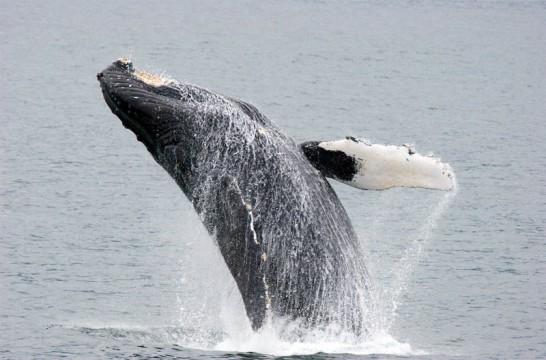 ¿Te gustan las ballenas? Estos son los 10 mejores sitios del mundo paraverlas