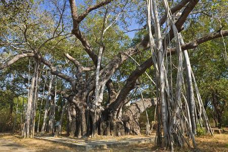 El imponente Thimmamma Marrimanu. Un bosque de 19.000m2 formado por un soloárbol